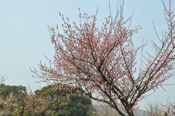 立春61赏梅花几许--苏州白马涧龙池风景区