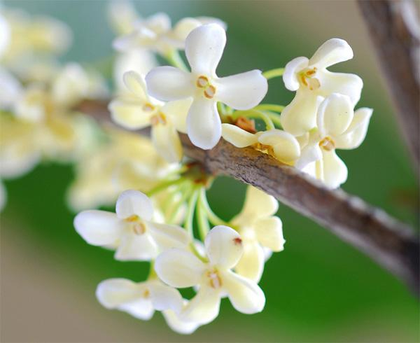 Osmanthus flowers fragrance miles szlongchi feeling the soft sweet scented osmanthus the smell of the fragrance allowing visitors can not help but relax the body quietly feeling smelling watching mightylinksfo